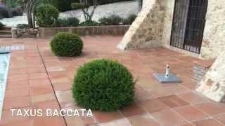 Taxus Baccata. Garden Center online Costa Brava - Girona.(Taxus Baccata. Garden Center online Costa Brava - Girona. Web: http://personalgardenshopper.es/, 2014-06-04T11:52:41.000Z)