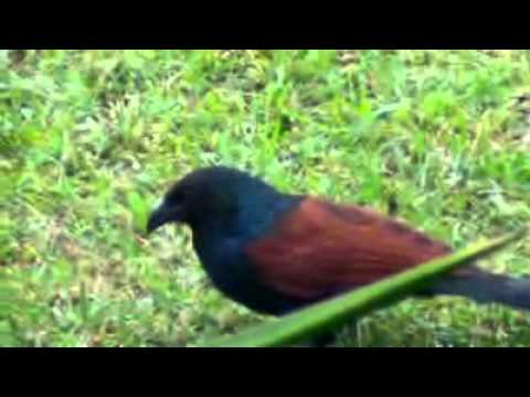 The Greater Coucal Mp3 Downloads