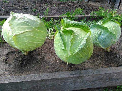 Капуста Мегатон F1. Результат с одной пачки семян. | результат | гиганская | собираем | мегатон | капусты | капуста | урожай | супер | сорт | ф1