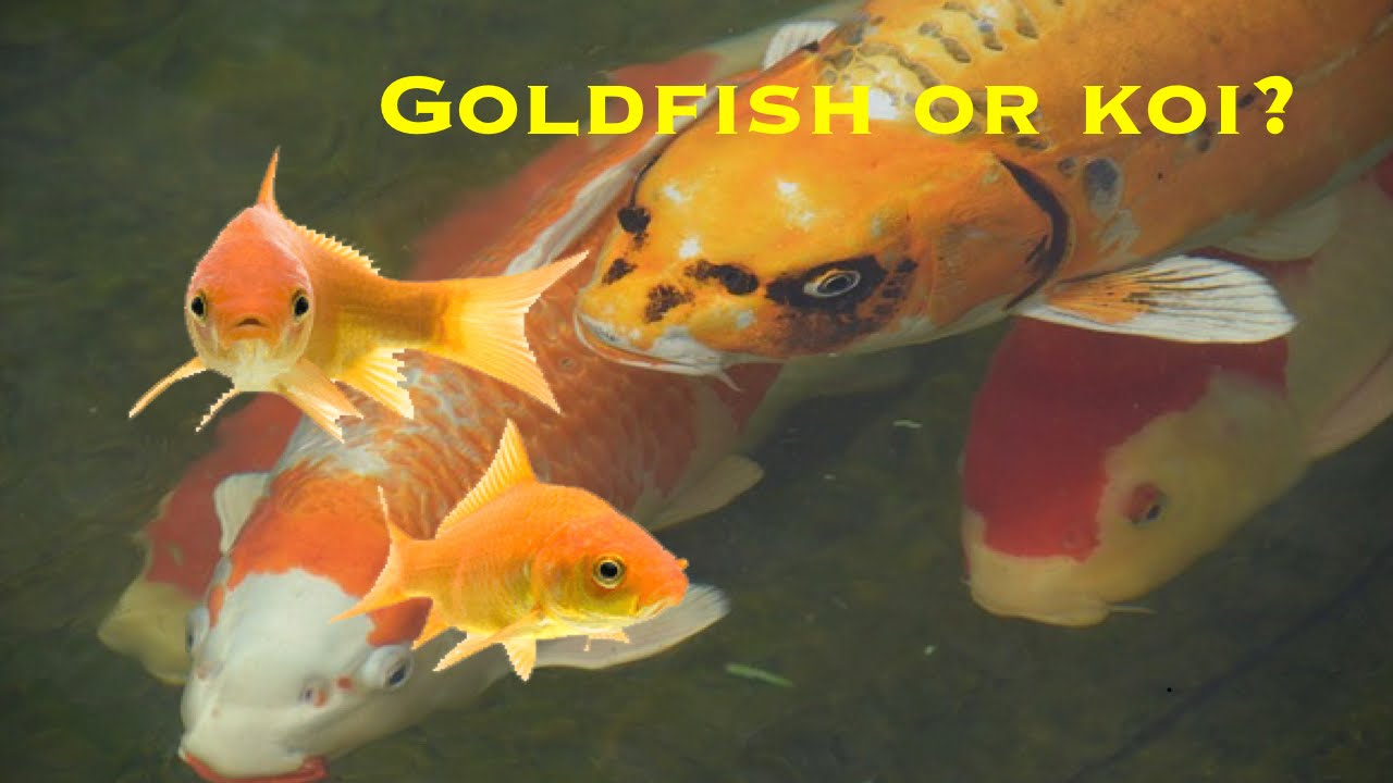 Goldfish or koi youtube for Koi und goldfisch