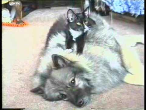 Keeshond And Cats Kerry the Keesh...