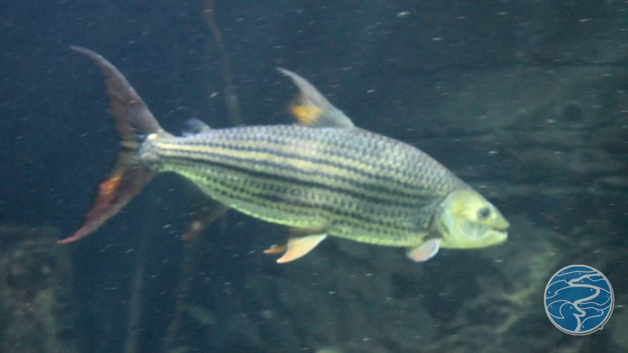 African tiger fish youtube for Tiger fish pictures