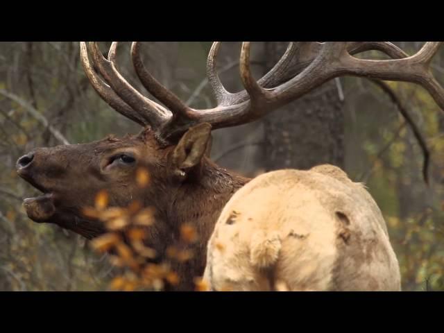 Bull Elk Bugling during the Rut