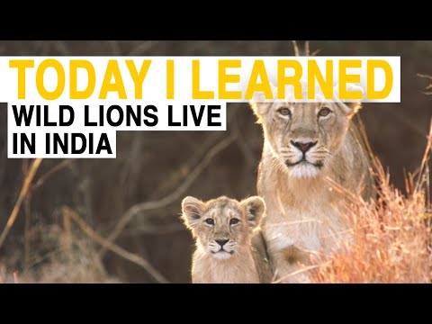 TIL: Wild Lions Live in India | Today I Learned