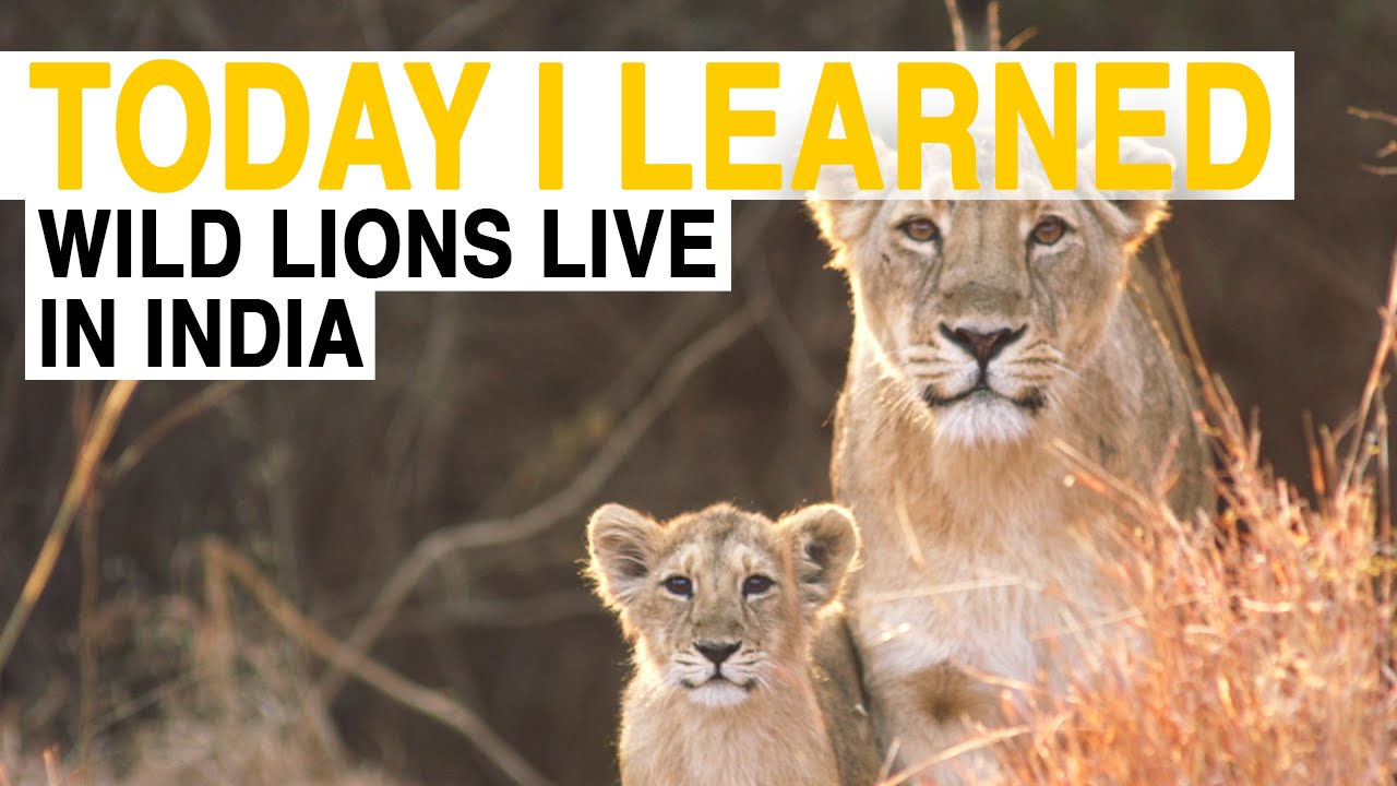 TIL: Wild Lions Live in India   Today I Learned