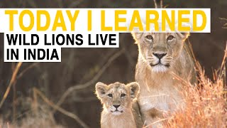 TIL  These Are the Only Wild Lions Outside of Africa | Today I Learned
