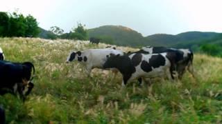 "Moc Chau Milk ""Cows"" Thumbnail"