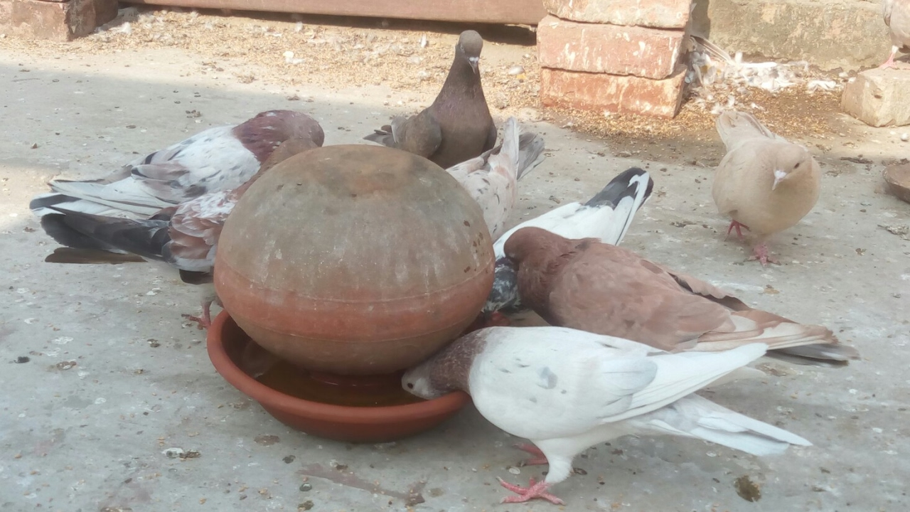 feeder watch and roller waterer youtube homemade pigeon hqdefault
