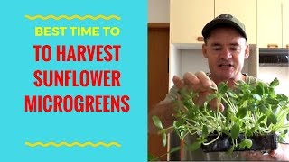 The Best Time to Harvest & Eat Sunflower Microgreens