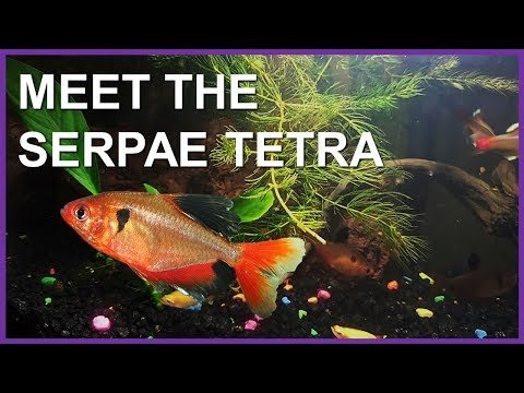Serpae Tetra (Red Minor Tetra) Care, Diet, And Tank Set Up