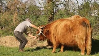 licol vache