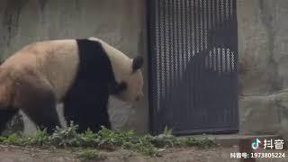 Những chú gấu trúc dể thương hài hước tiktok Trung Quốc