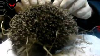 wild hedgehogs, very cute
