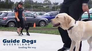 Guide Dogs-in-training