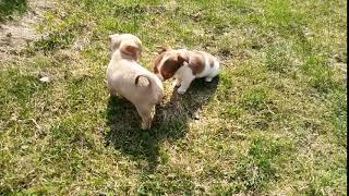 Купить щенка чихуахуа недорого в Москве. РКФ. 89055466692