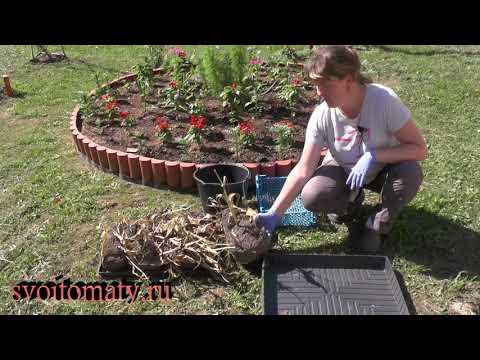 Уборка на хранение луковиц  тюльпанов