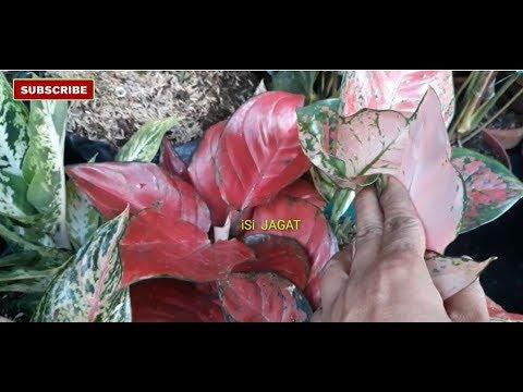 aglonema-merah-yang-menawan,-penjual-bunga-kreatif