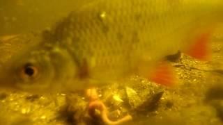 Сколько рыбы проплывает мимо крючка,когда НЕ КЛЮЕТ?Щука,окунь,плотва и другие.