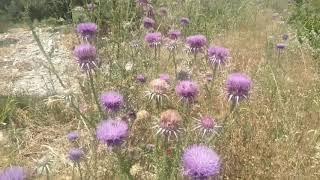 Sakız otu yabani enginar kenger devedikeni eşek dikeni kenger bitkisi faydaları çayının yararları