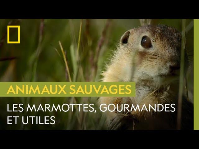 Comment les marmottes aident à la conservation des prairies