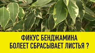 ФИКУС БЕНДЖАМИНА - ВЫРАЩИВАНИЕ, БОЛЕЗНИ, ВРЕДИТЕЛИ, УХОД. Фикус сбрасывает листья, листья желтеют