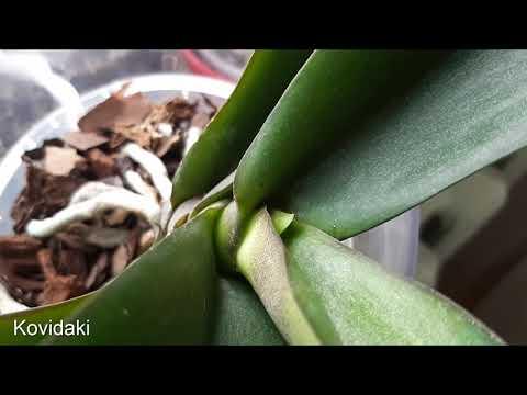 Как заставить орхидею наростить цветонос