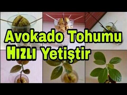 AVOKADO TOHUMU EVDE YETİŞTİR HIZLI ÜRETME TEKNİKLERİ ORGANİK TARIM / HOW TO GROW AVOCADO TREE Seed