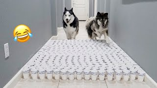 Clumsy Huskies Try To Avoid Cup Obstacles..