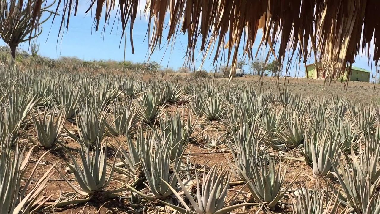 Alovera plantage