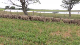 """Carneros Raza Merino Australiano de """"El Totoral"""", Salto, Uruguay Video 4"""