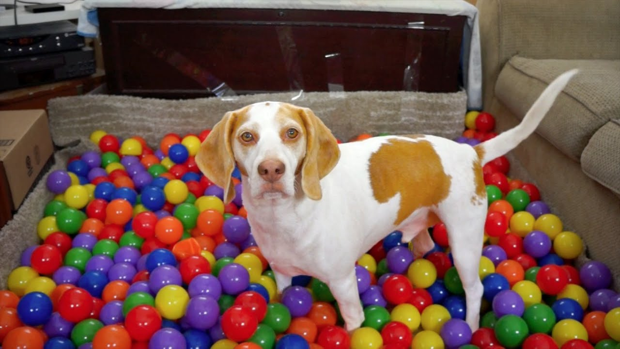 Best Dog Birthday Surprise Diy Ball Pit For Maymo Youtube