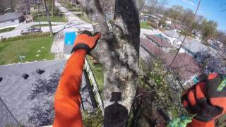 maple tree removal