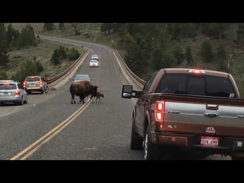 Travel Tips and Trips: Bison at Yellowstone National Park