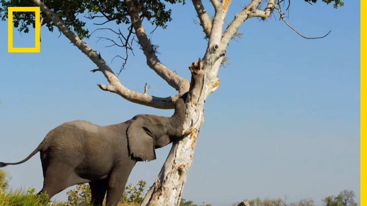 Cet éléphant déracine un arbre pour nourrir le groupe