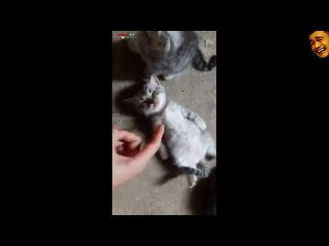 Kucing Pura pura Pingsan  Minta di Tampol       1