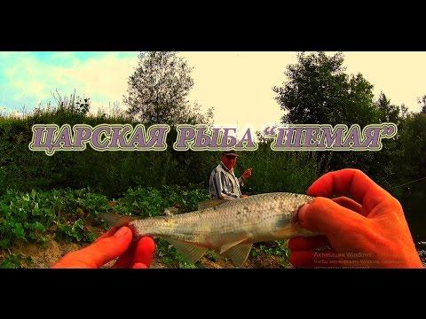"""ловля на фидер. """"Царская рыба Шемая"""""""