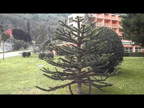 Čilska aravkarija (Araucaria araucana), Strunjan, Slovenija