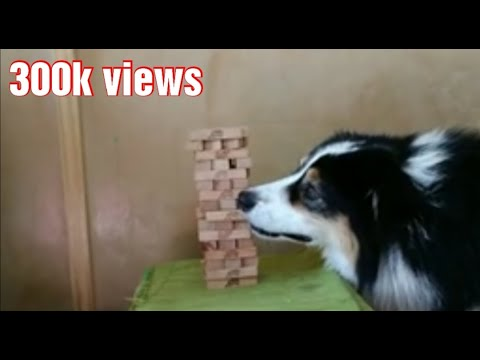 Dog Playing Jenga