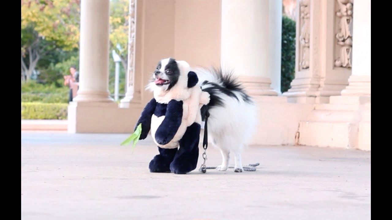 dog dresses up as panda for halloween youtube