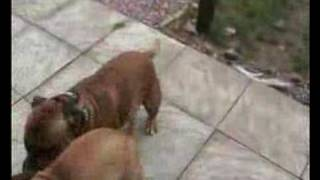 Play Fighting Staffordshire Bull Terriers
