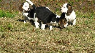 Beagle, Puppies For Sale, In, Hampton, Virginia, West, Va, Norfolk, Chesapeake, 19breeders