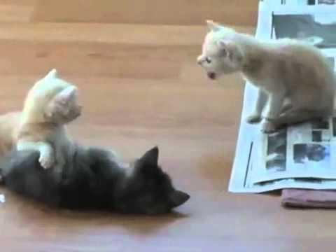 adopt savannah cat