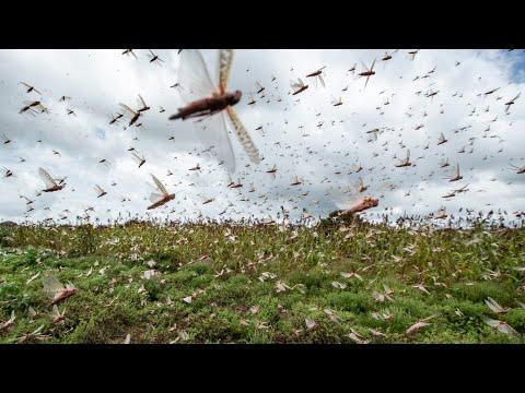 Ненасытная САРАНЧА - поедает ВСЕ! Откуда берутся и куда исчезают миллиарды насекомых?