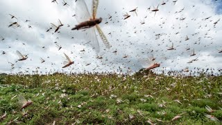 Ненасытная САРАНЧА - поедает ВСЕ! Откуда берутся и куда исчезают миллиарды насекомых? смотреть онлайн в хорошем качестве - VIDEOOO