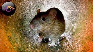 Почему стоит бояться крыс?