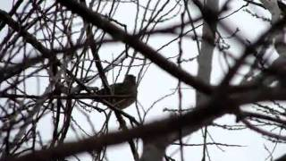 Golden-crowned Sparrow call