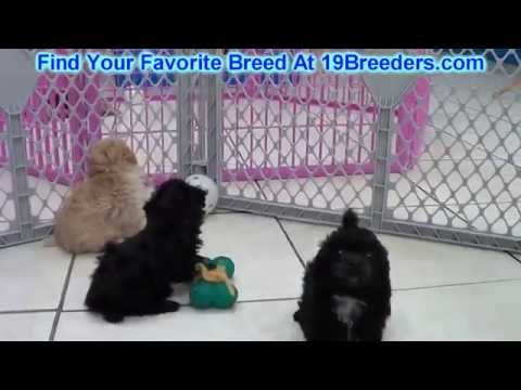 Toy Poodle, Puppies, Dogs, For Sale, In Mesa, Arizona, AZ, 19Breeders, Scottsdale, Yuma