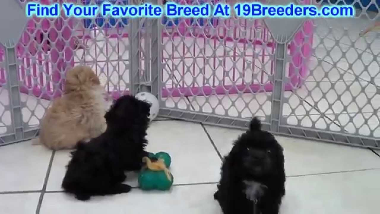 Toy Poodle, Puppies, Dogs, For Sale, In Mesa, Arizona, AZ ...
