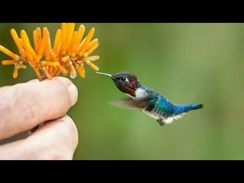 burung terkecil di dunia, lebih kecil dari jari manusia
