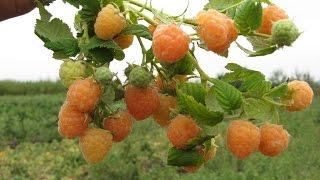 Малина! Большой урожай закладывается осенью.(После сбора урожая малине нужно уделить серьезное внимание, нужно ее обрезать, удалить отплодоносившие..., 2016-08-20T11:59:29.000Z)